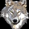 7ea2ab wolf 30695 960 720